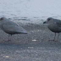 20060115-01-15p02gulls.jpg