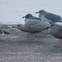 20060115-01-15p03gulls.jpg