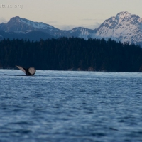 20040111-01-11humpbacktail2.jpg