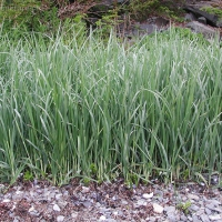 20030521-05-21beachgrass.jpg