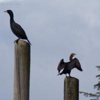 20060416-04-16p02cormorants.jpg
