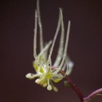 20040417-04-17coptisflower3.jpg