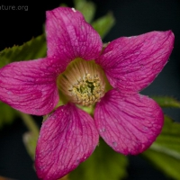 20050416-04-16by03salmonberry.jpg