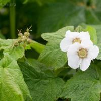 20060627-06-27p05thimbleberryflowers.jpg