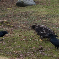 20040216-02-16eaglecrows.jpg