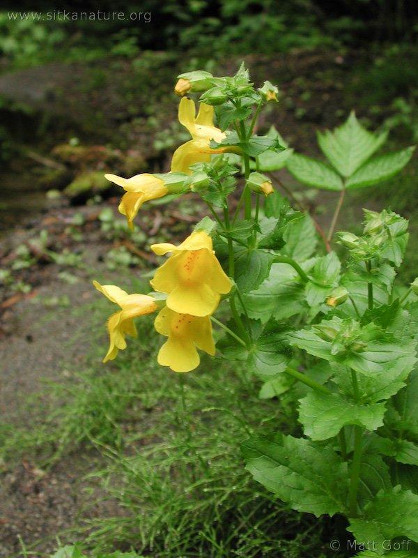 20030705-07-05monkeyflower2.jpg