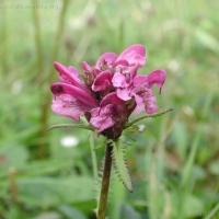 20000810-8-10unknownlousewort.jpg