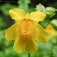 20030705-07-05monkeyflower1.jpg