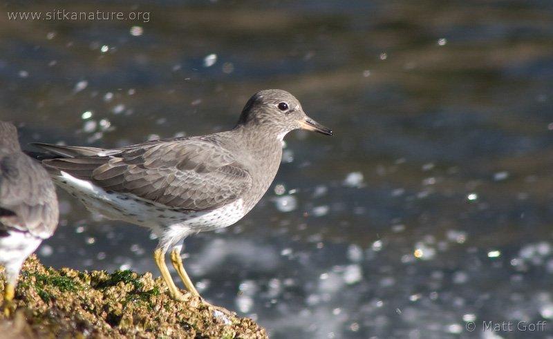 20051014-10-14p07surfbird.jpg