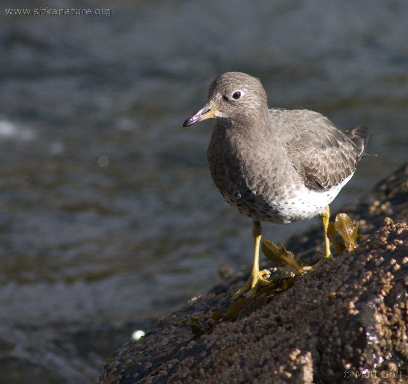 20051014-10-14p09surfbird.jpg