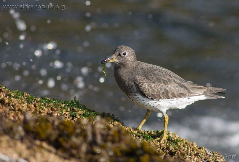 20051014-10-14p10surfbird.jpg