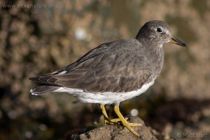 20051014-10-14p13surfbird.jpg