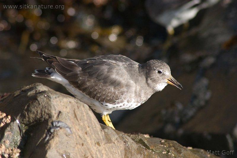 20051014-10-14p16surfbird.jpg
