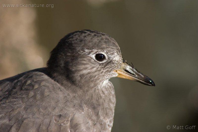 20051014-10-14p19surfbird.jpg