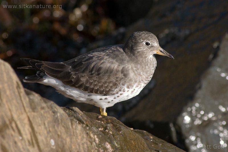20051014-10-14p20surfbird.jpg