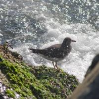 20051014-10-14p05surfbird.jpg