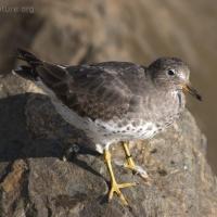 20051014-10-14p15surfbird.jpg