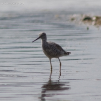 20060416-04-16p04yellowlegs.jpg