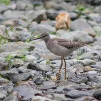 20060806-08-06p06yellowlegs.jpg