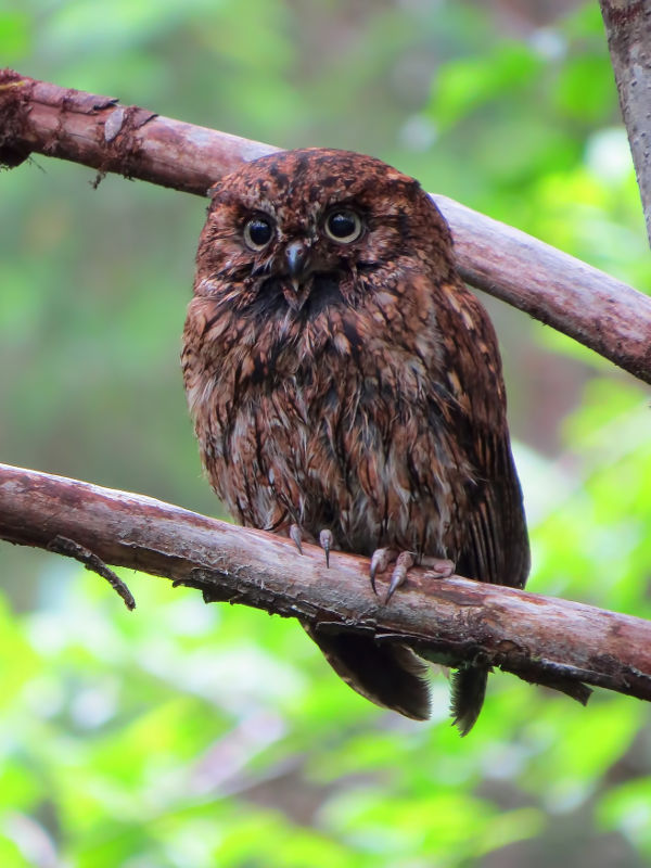 Red Phase Western Screech-Owl