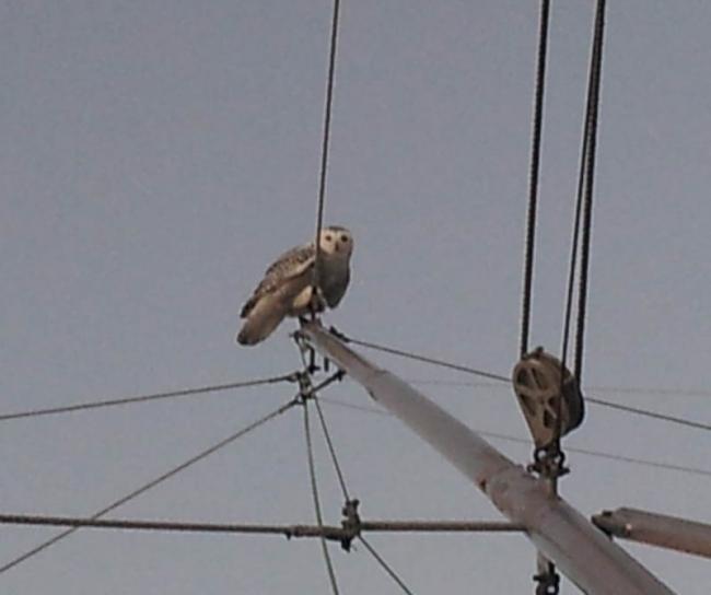 Snowy Owl on Trolling Poles