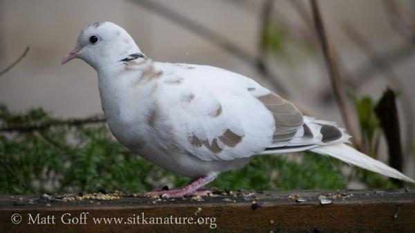 Leucistic Eurasian Collared-Dove