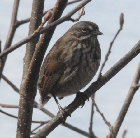taillesssparrow-1_0