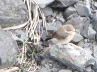 Northern Wheatear (Oenanthe oenanthe)