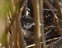 Leucistic Fox Sparrow (Passerella iliaca)
