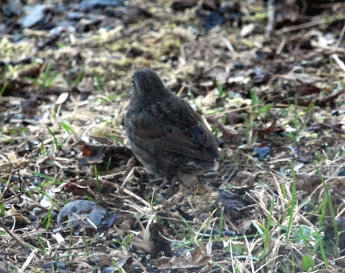 taillesssparrow-2
