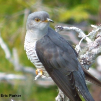 Common/Oriental Cuckoo