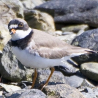 semipalmated_plover5-18-08.jpg