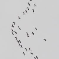 Snow Geese (Chen caerulescens)