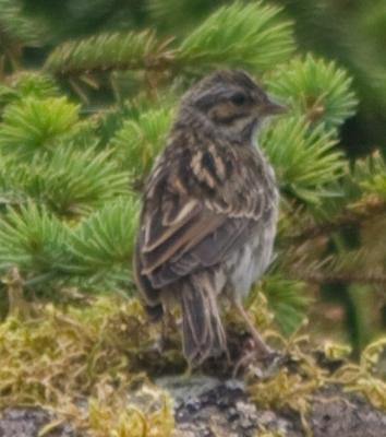 Mystery Sparrow