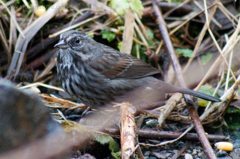 20040222-02-22songsparrow.jpg