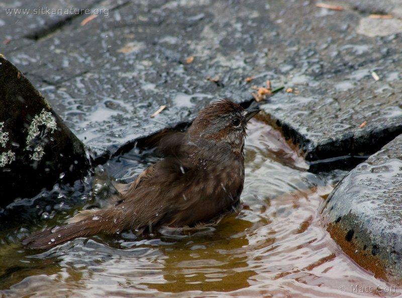20050520-05-20p07songsparrow.jpg