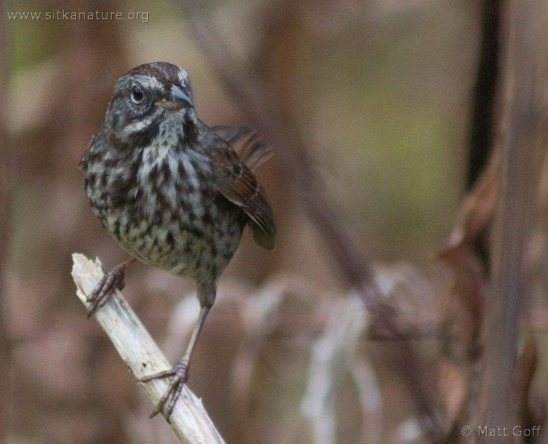 20051101-11-01p06songsparrow.jpg