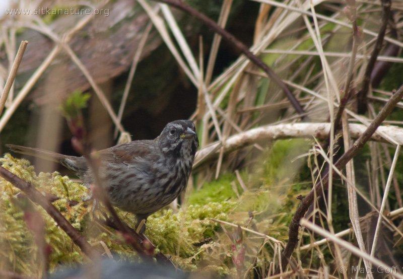 20060406-04-06p06songsparrow.jpg