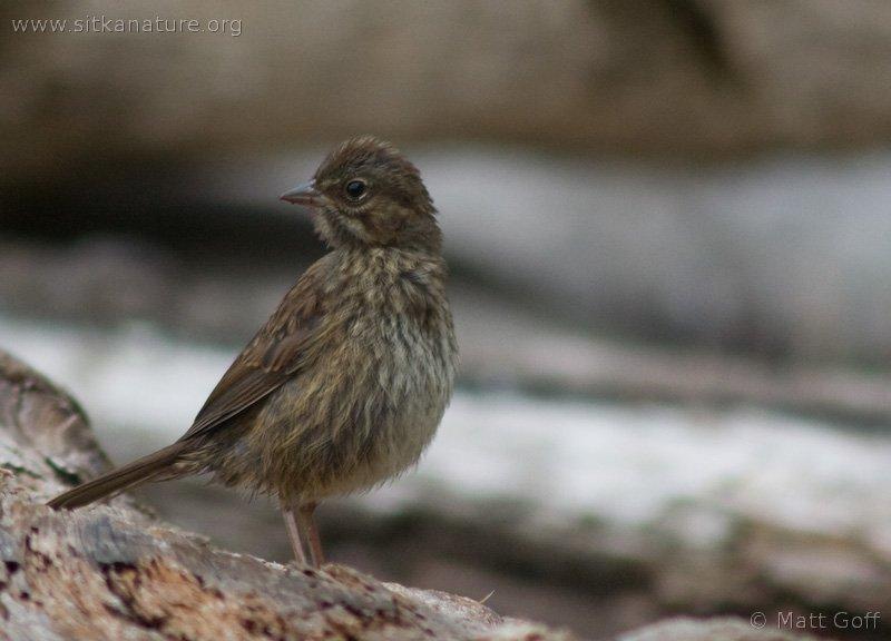 20060713-07-13p06songsparrow.jpg