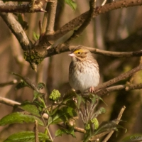 20040428-04-28savannahsparrow1.jpg