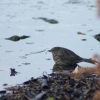 20050115-01-15p12songsparrow.jpg