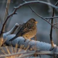 20060114-01-14p16sparrow.jpg