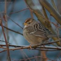 20060114-01-14p17sparrow.jpg