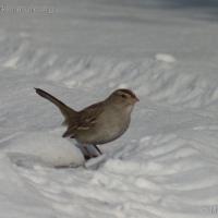 20060224-02-24p03sparrow.jpg
