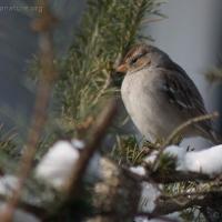 20060224-02-24p05sparrow.jpg
