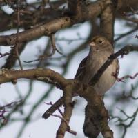 20060224-02-24p07sparrow.jpg