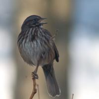 20060302-03-02p04songsparrow.jpg