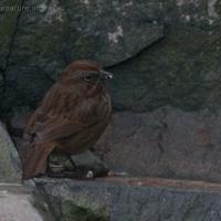 20060317-03-17p31songsparrow.jpg