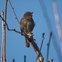 20060323-03-23p02songsparrow.jpg