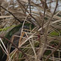 20060406-04-06p07songsparrow.jpg